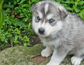 stock photo of puppy eyes  - Tiny five week old Huskimo puppy with very blue eyes outside sitting on a rock - JPG