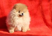 stock photo of pomeranian  - Pomeranian dog sitting on a red background - JPG