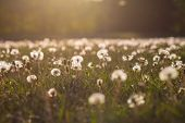 stock photo of dandelion seed  - vintage look of a fiel with dandelion seed heads and the sun shining on them - JPG