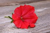 stock photo of petunia  - petunia isolated on wooden background in studio - JPG