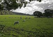 Sheep On Farmland, Wirral, England.