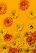 stock photo of marigold  - Freshly picked medicinal calendula or marigold flowers arranged on orange background - JPG