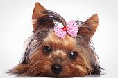 picture of sleepy  - sleepy little yorkshire terrier puppy dog is lying down to rest - JPG