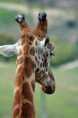 Shy Giraffe