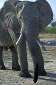 Portrait of an old African Elephant