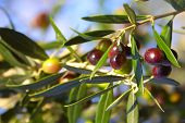 image of olive trees  - an olive branch with ripe olives  - JPG