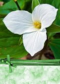 picture of trillium  - Single trillium blossom with green ribbon and bow - JPG
