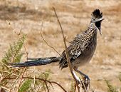 Greater Roadrunner in Arizona