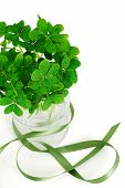 Closeup Of Bouquet Of False Shamrock With Green Ribbon