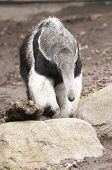 Giant Anteater, Myrmecophaga Tridactyla, Is The Largest Species Of Anteater