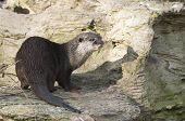 Fischotter (Lutra Lutra), Eurasische Fischotter, gemeinsame otter