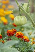 Tomatoes And Marigolds (companion Planting)