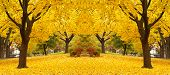 Yellow Maple Leaves Landscapes