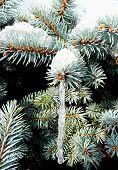 Pine Icicle