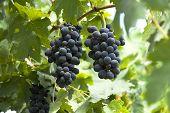 Cachos de uvas