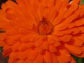 Pot Marigold 01
