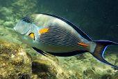 Arabian Sohal Surgeon Fish
