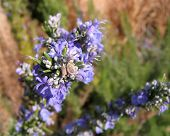 Close-Up Of Rosemary Flowers