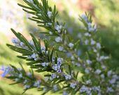 Rosemary Buds