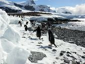 Gentoo Penguins On The Beach