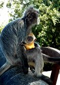 A Silver Leaf Monkey And Baby Malaysia poster