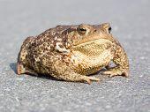 Große braune Frosch (Kröte)