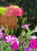 Pretty Purple And Violet Petunias On A Balcony Garden