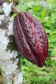 Pod Of Arriba Cacao In Ecuador