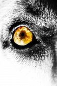 picture of seeing eye dog  - A macro photo of a dogs eye in black and white - JPG