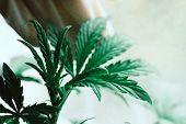 Cannabis Plant Growing A Macro Shot On A Vegetation Plant Medical Marijuana Marijuana Leaves, A Beau poster