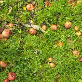 Fallen apples on grass