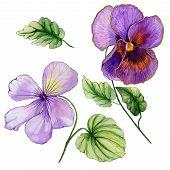 Beautiful Botanic Set (vivid Purple Viola Flowers And Leaves). Colorful Violet Flower And Green Leav poster