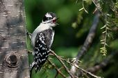 Fledgling Downy Woodpecker