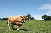 Aubrac Beef Cow Portrait