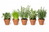 Row of brown terra cotta pots with fresh green kitchen herbs, sage,mint,rosemary,oregano and chives  poster