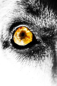 foto of seeing eye dog  - A macro photo of a dogs eye in black and white - JPG