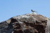 Ein kleiner Vogel-Bachstelze auf dem Stein