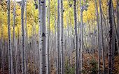 Aspen Trees In Fall