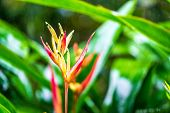 Parrot's Beak Or False Bird Of Paradise, Red Heliconia Under The Rain. Also Known With Name Parrots poster