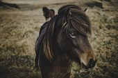 Wild And Free Horses In Northern Iceland Living Together In Peace In A Natural Environment poster