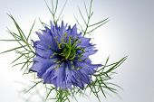Love  -in - a - mist flower ( Nigella  damascena )