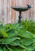 Hosta Leaves And Birdbath