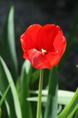 Red Tulip In The Spring Sun