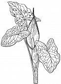 Plant Arum maculatum