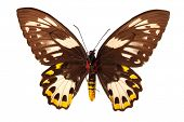 Ornithoptera goliath samson butterfly on white