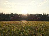 Golden Sunset, Golden Rice, Golden Trees, Golden Harvest poster