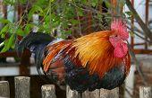 multi-coloured cock