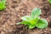 Lettuce Grown On The Soil. Fresh Leaf Lettuce Grown In The Soil In The Garden Growing On Plots With  poster