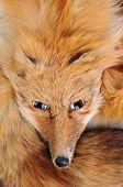 Closeup of an antique fox stole.