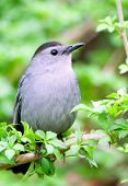 Portrait Of Catbird